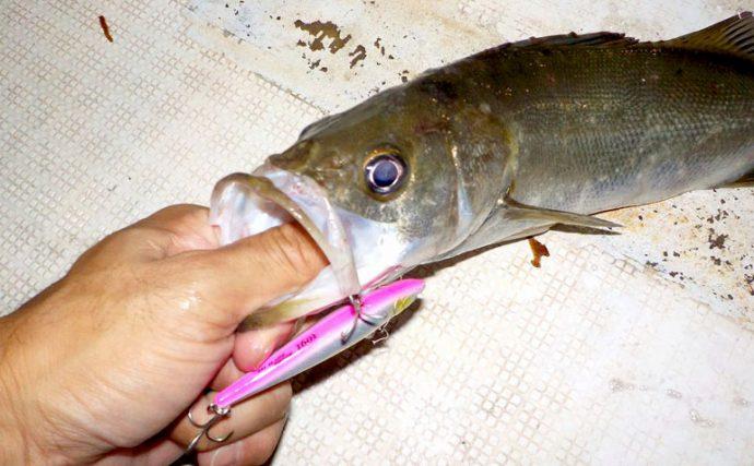 シーバスフィッシングで頼れるルアー、ローリングベイトはなぜ釣れる
