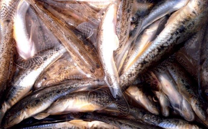 曽根干潟に育まれた良型ハゼを数釣り堪能!【福岡県北九州市曽根の川】