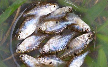 タナゴ釣り小気味いい引き半日で12尾【千葉県柏市大津川河口周辺のホソ】