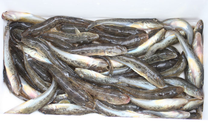 秋のハゼ釣りはボートから数狙いで【千葉県江戸川放水路大沢遊船所】