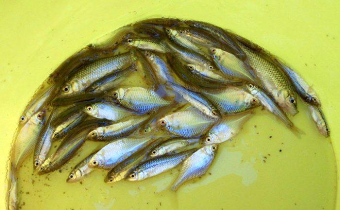 牛久の小河川でのどかにタナゴ釣り【茨城県つくばみらい市西谷田川のホソ】
