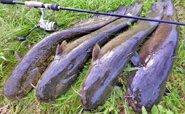 ストラクチャーを攻めよ!ルアー釣りで70cmナマズ連発【愛知県西行堂川】