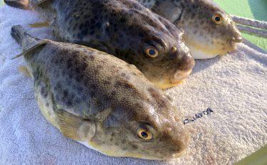 見た目コロコロ、引きはズンッ。アカメフグを東京湾で釣る【鶴見新明丸】