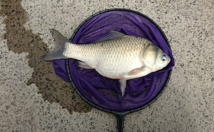 ヘラブナ38cmがお目見え。本流産の魚が狙える【千葉県小野川吐き出し】