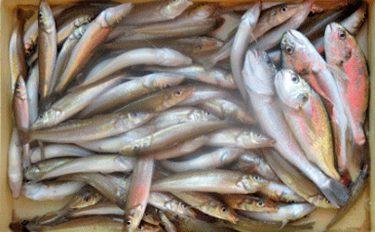 東京湾で手軽に船釣り!シロギス釣りのタックルと釣り方を解説