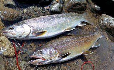 春の渓流釣り。大イワナと対面!【長野県木曽川】