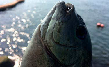 波止でフカセ釣り。グレがいるポイントの見極め方を解説!