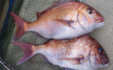 伝統釣法で釣る!シャクリマダイ釣りを解説【千葉県・内房】
