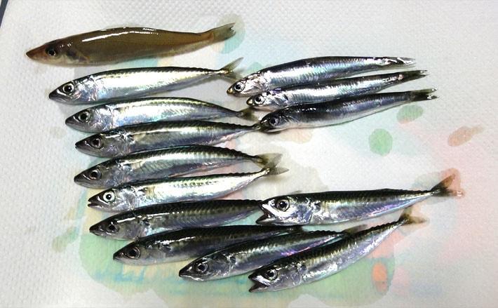 波止からサビキ釣りとちょい投げで楽しい釣果!【神奈川県・大磯港】