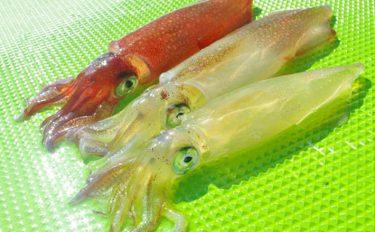 ムギ&スルメイカ船釣り攻略!種類別イカの特徴も【イラスト付き解説】
