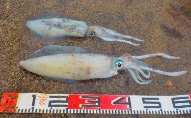 アジ泳がせ釣行記:人気堤防でアオリイカ2杯【神奈川県・三崎港】