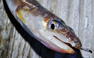 陸っぱりアナゴ釣り攻略!1cmの超ショートハリスがオススメ【解説】
