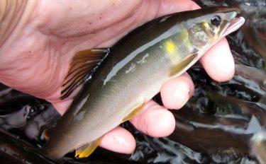 鮎トモ釣り:追い星鮮やかな美アユ74尾!【岐阜県・益田川上流】