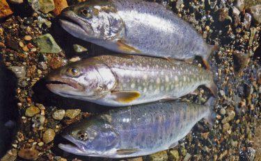 2日連続渓流釣行:涼しい渓で熱い釣りを!【岐阜県・高原川&益田川】