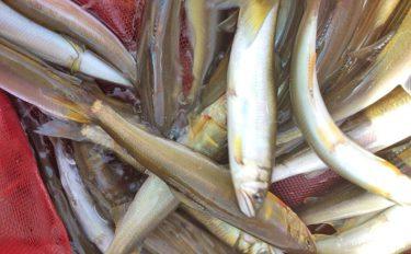 小アユのサビキ釣り:手返し早い浜松式で800尾!【滋賀県・知内川】