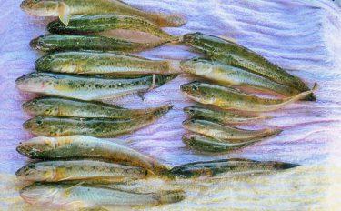 ハゼのミャク釣り:最大17cm!良型中心17尾【和歌山県・紀ノ川】