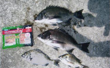 紀州釣り:フグをかいくぐり本命クロダイゲット!【兵庫県・鳥飼漁港】