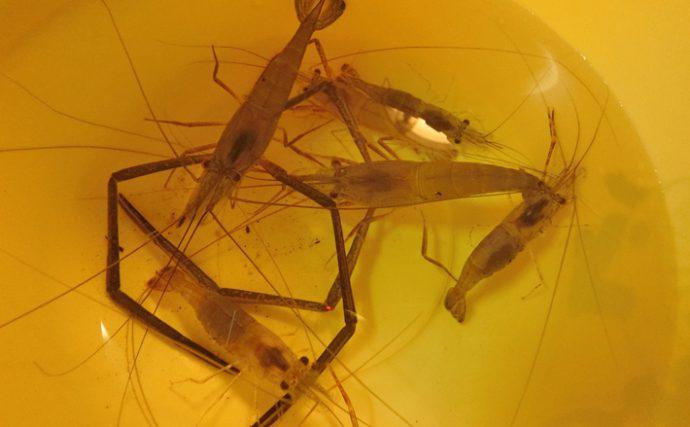 テナガエビ釣行:エビ特有のキックバックを堪能!【愛知県・木曽川】