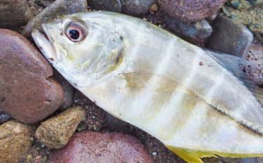 ライトショアジギング釣行:メッキ&セイゴの活性高し【静岡県・大田子湾】
