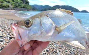 ライトルアー釣行:ヒラセイゴと遊ぶ夏サーフ【静岡県・仁科大浜海岸】
