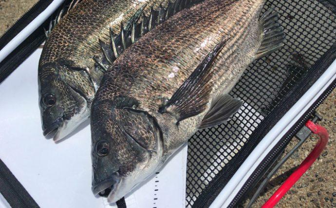 波止フカセ釣行:アイゴの猛攻かわし本命42cm【愛知県・師崎新港】