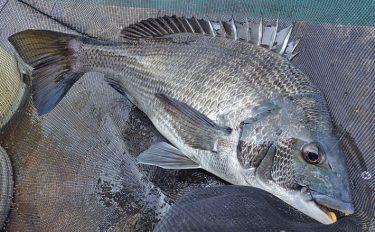 クロダイかかり釣り初心者入門:最初の1尾を手にするまでのキホン解説