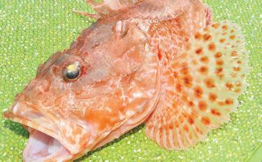 ココが危険!オニカサゴの4つのトゲ!処理法と生態〜釣り方のキホン