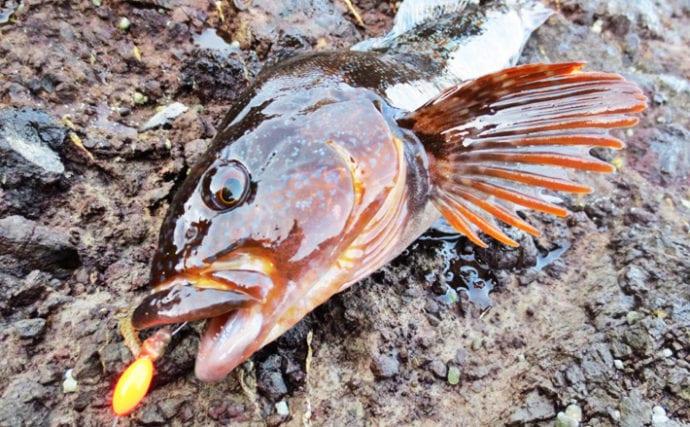 冬の投げ釣りターゲットはアブラメ(アイナメ)で決まり【キホン解説】