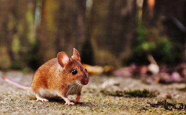 2020年は子(ねずみ)年 名前にネズミが付く年男&年女の海洋生物8選