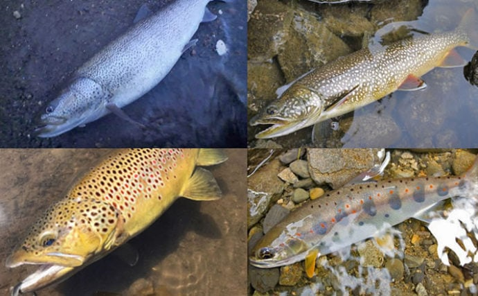 分類学上サケとマスは同じ 日本で見られる4属を徹底解説(2/8 ...