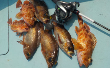 シーズンインの伊勢湾船メバル釣り初心者入門 数釣りの極意を解説!