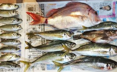 船サビキで尺アジにマダイ 入院前ラスト釣行を満喫【愛知県・石川丸】