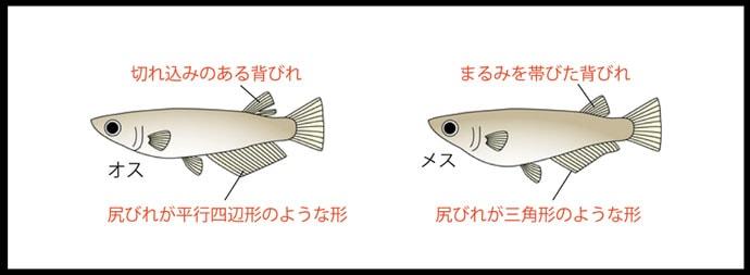 意外と知らないメダカの生態を解説 今日からメダカを飼う(第1回)