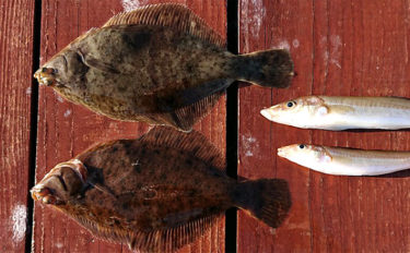 イカダから投釣りでマコガレイ 360°投げ放題【兵庫県・福良湾】