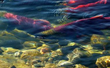 河川への放流事業の思わぬ弊害 生物多様性&地域的特異性が低下?!