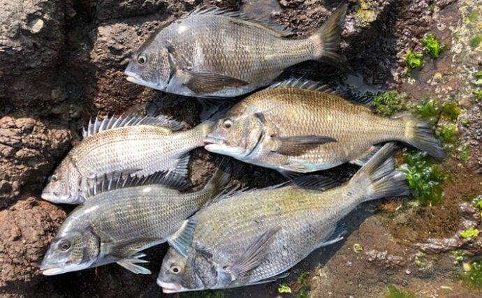 沖磯フカセ釣りで乗っ込み45cm頭にクロダイ5尾【和歌山県・湯浅】
