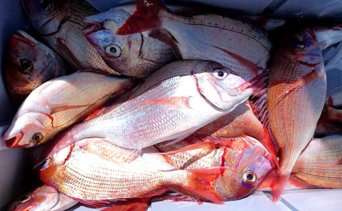 外房コマセハナダイ釣り初心者入門 シャクリとアワセはシャープに!