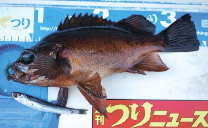 関東エリア『イワシメバル』釣りのキホン 活きエサの扱いがキモ