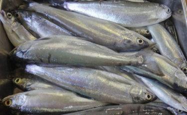 春ヒメマス釣りが解禁 淡水魚の中で最も美味な魚?【山梨県・西湖】