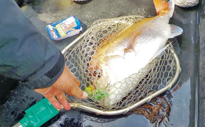 チョクリ(鯛サビキ)仕掛けで本命マダイキャッチ【三重県・丸安丸】