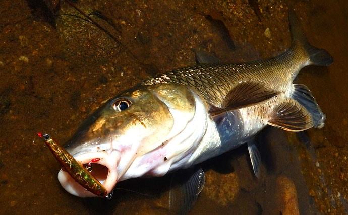 渓流ルアーで価値ある本命アマゴ ランガンが吉【愛知県・大入川水系】