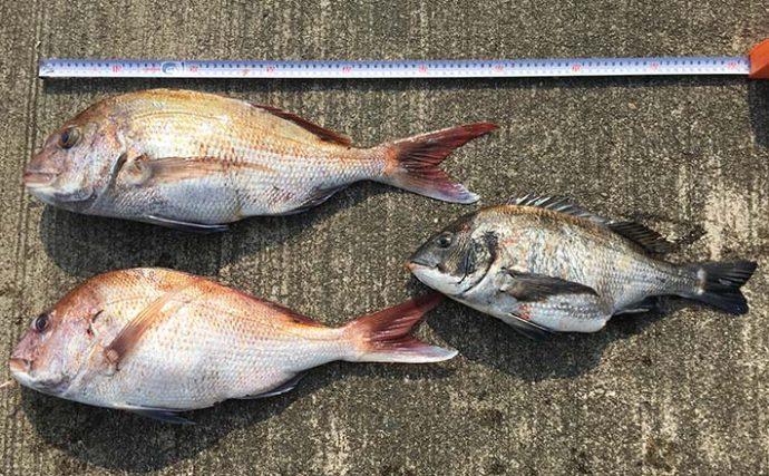離島で投げ釣りしたら60cm級マダイが2尾登場!【三重県・鳥羽市】