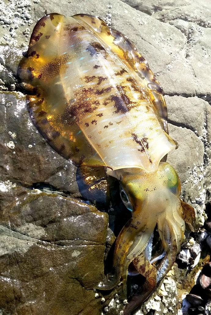 沖磯でのヤエン釣りで2.2kg春アオリイカ!【和歌山県・南紀】