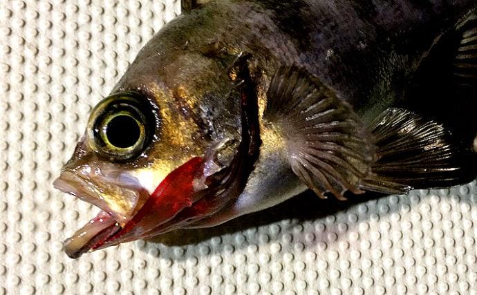 初心者におすすめ船サビキメバルで夜釣りを満喫【兵庫・神戸空港沖】