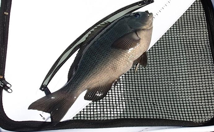 沖磯フカセ釣りでグレ2尾&チヌ3尾 フグ地獄攻略の鍵は日陰【福井】