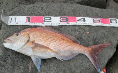 護岸からのフカセ釣りで62cm頭にマダイ3尾に年無し含むチヌ14尾