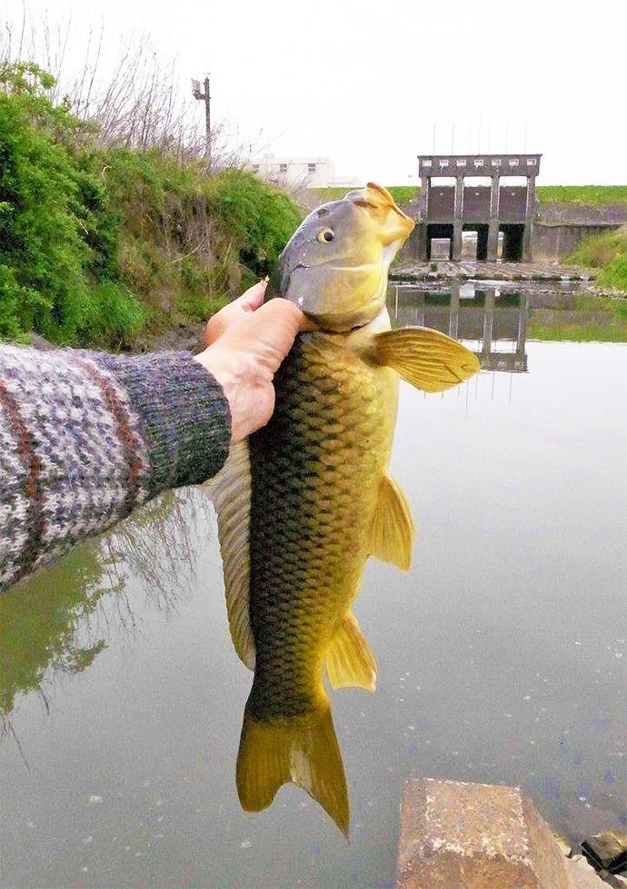 のべ竿で黄金色58cmコイ(鯉) 強引を堪能!【千葉県・利根川】