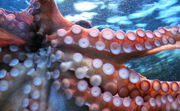 ただものではない海洋生物『タコ』が持つ特殊能力4選 まさに忍者!