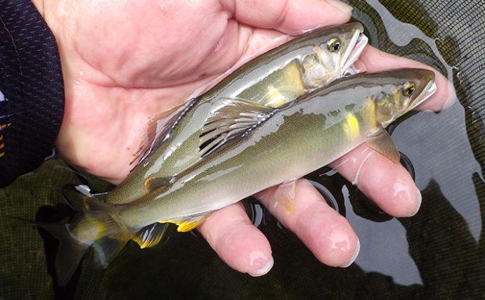 アユ解禁日の天の川でトモ釣り 魚影濃厚で80匹釣果!【奈良県】