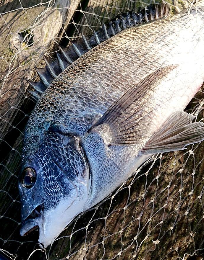 かかり釣りでクロダイ2尾 ボラを浮かせて底でチヌを釣る【和歌山県】